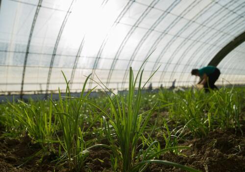 百合科韭菜什么时候播种?一亩大棚韭菜一年利润有多少?